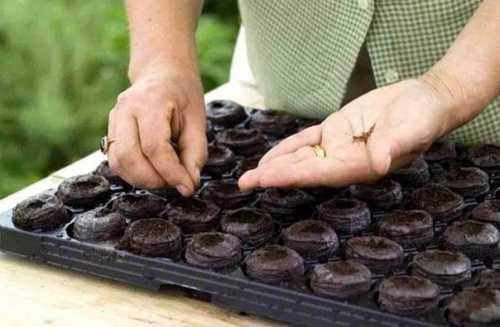 как сажать арбузы в открытый грунт, на каком расстоянии